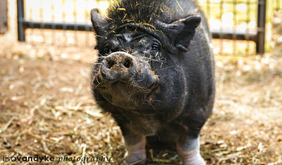 Jesse, our 30-something Pot-bellied pig.